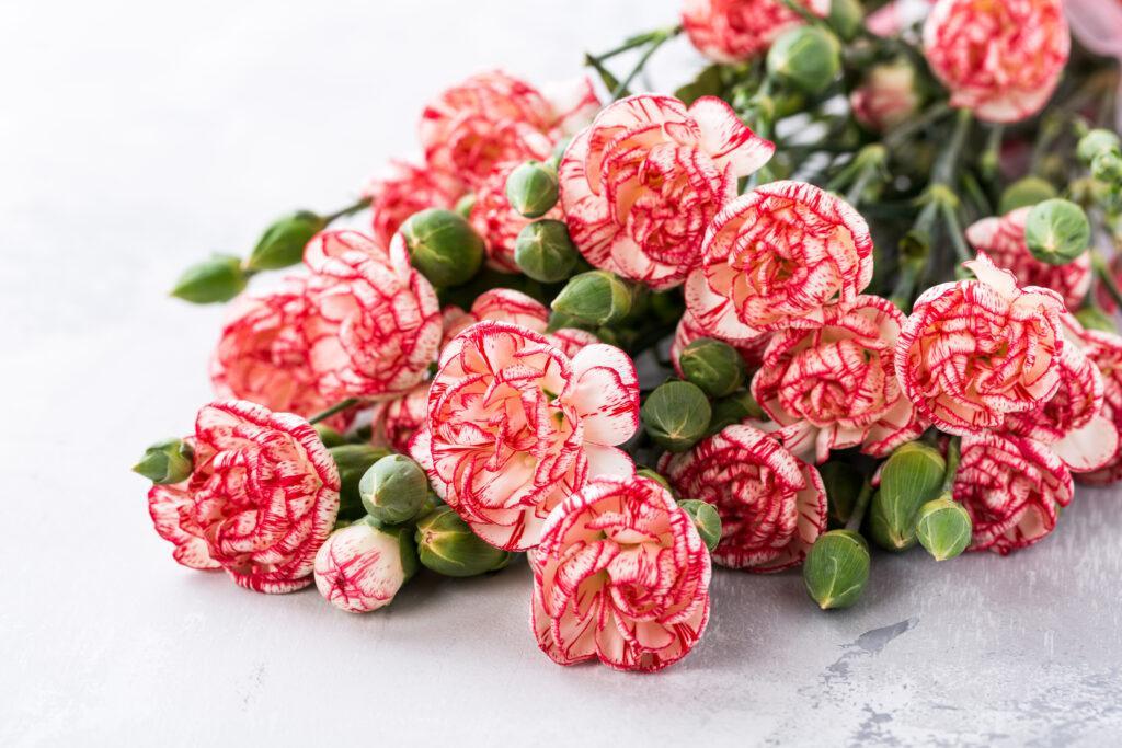 Goździki - poznaj znaczenie kwiatów