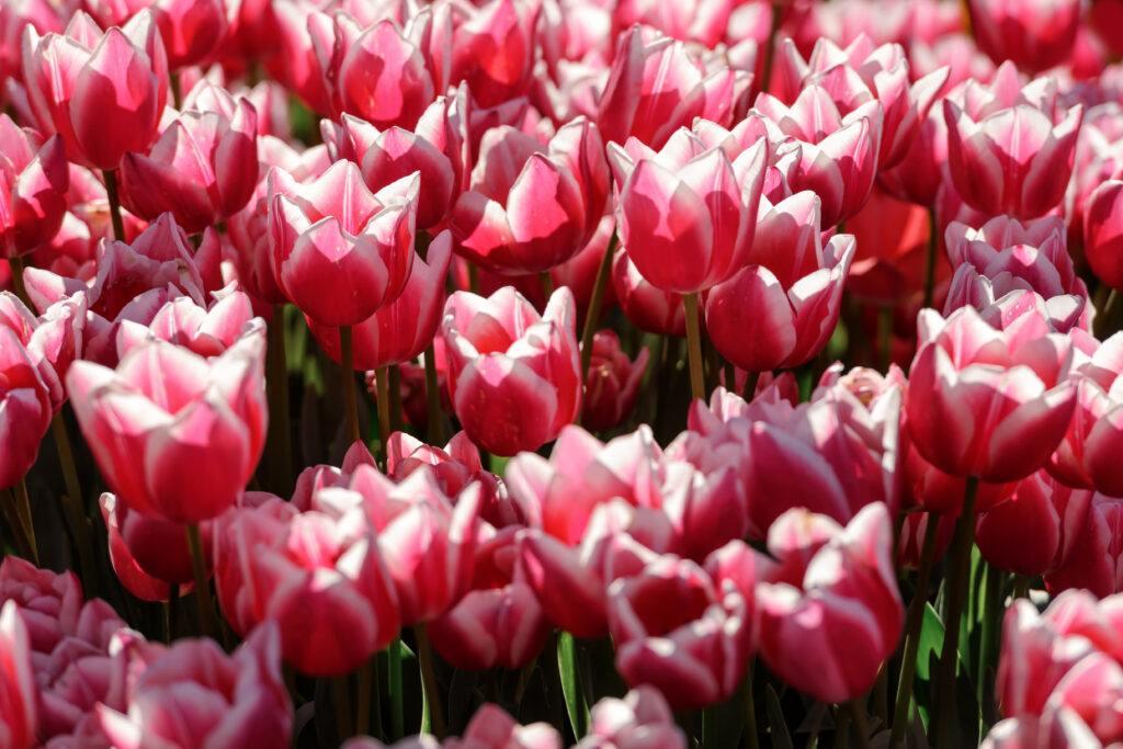 Pole różowych tulipanów
