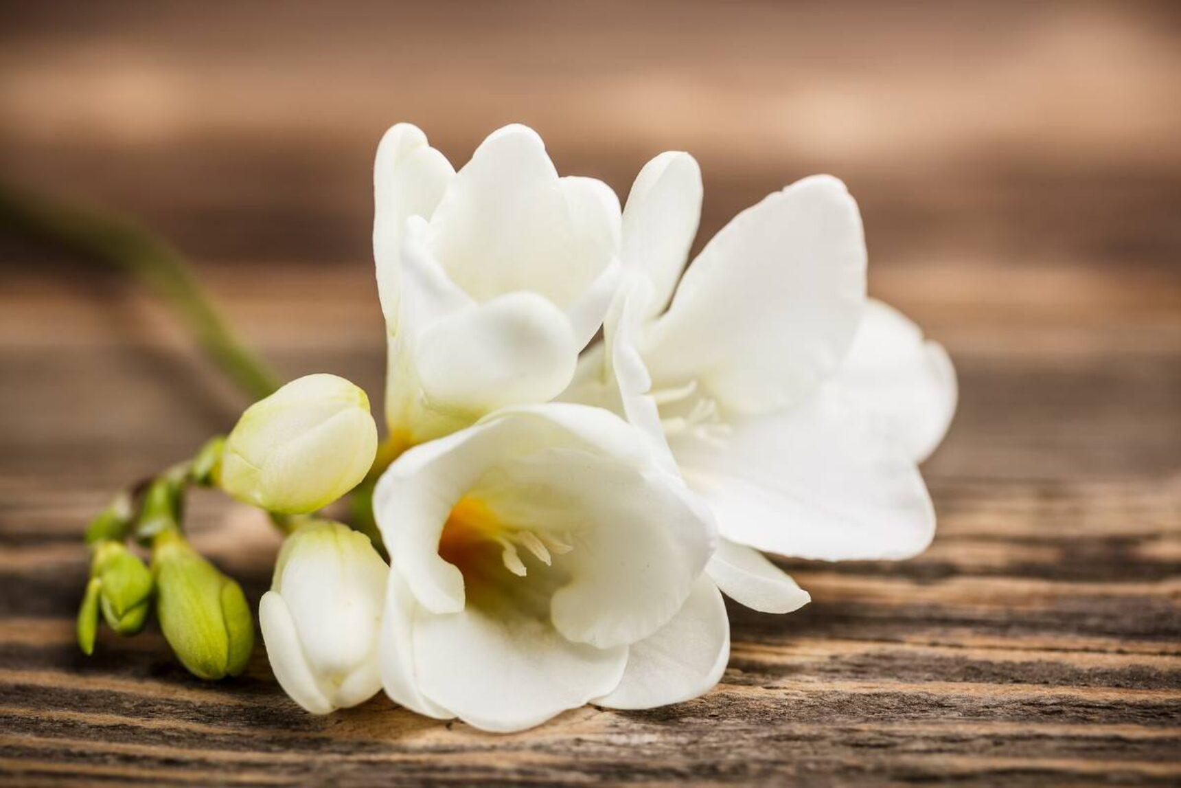Bukiety ślubne z frezji – jakie kwiaty do nich dobrać i ile kosztują?