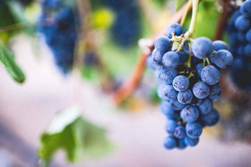 Winogrona na wino na wesele
