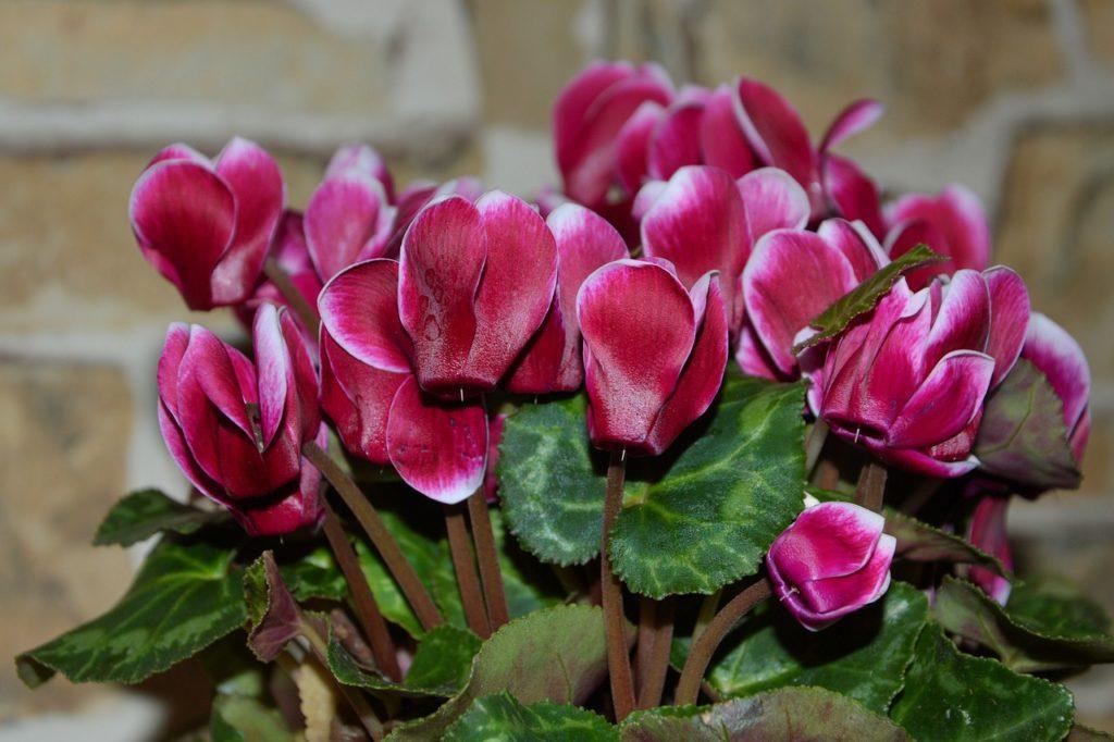 Kwiaty domowe cyklamen