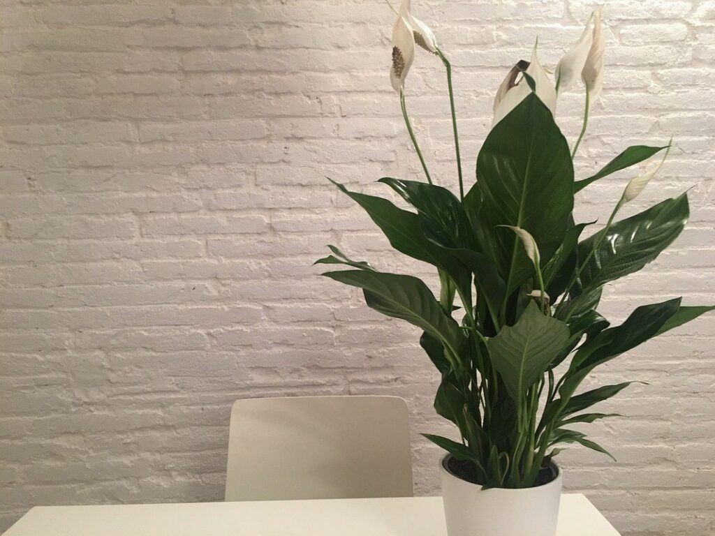 Skrzydłokwiat z białymi kwiatami