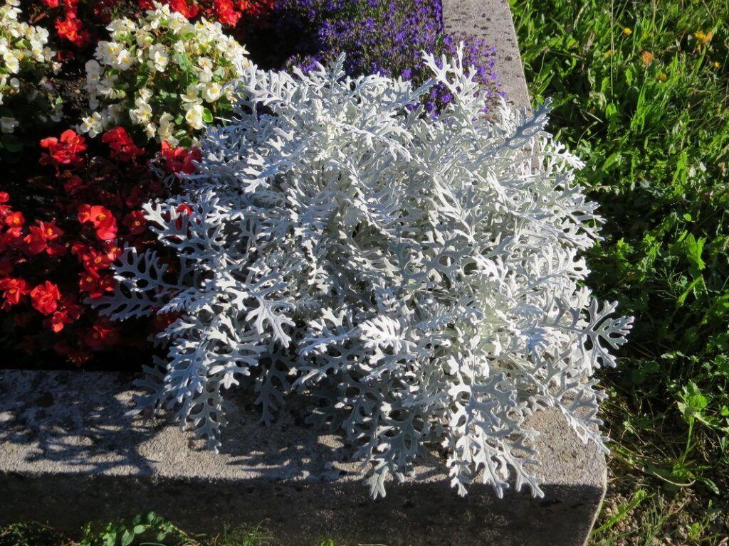 Starzec srebrzysty do zimowego bukietu ślubnego