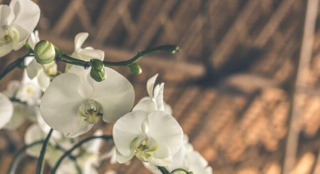 Jak dbać o storczyki, żeby pięknie kwitły i zdrowo rosły? Zobacz najlepsze sposoby!